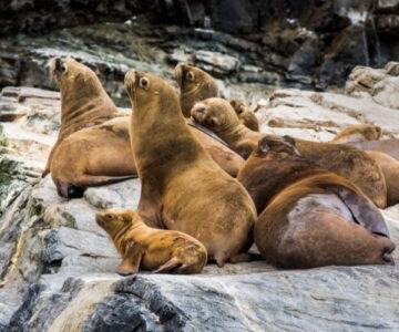 Sea lions chañaral de aceituno