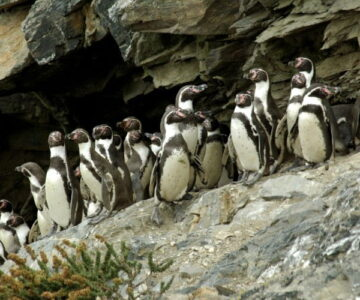 Humboldt penguins - Chañaral de aceituno