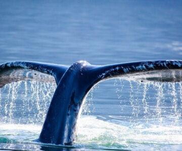 Whale Chañaral de aceituno